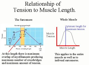 length_tension_muscle